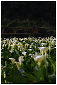 2012陽明山竹子湖賞海芋:IMG_5058-1.jpg