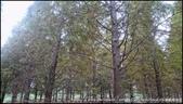 『 八德。霄裡里 』從秘境成了熱門景點的落羽松森林: