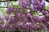 『 淡水。紫藤咖啡園 』季節限定。走進浪漫的紫色隧道: