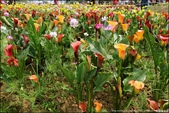『 大園。溪海休閒農業區 』期間限定。2019桃園彩色海芋季: