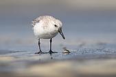 大園野鳥:三趾鷸IMG_9250.jpg