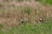 大園野鳥:小水鴨0811IMG_0472.jpg
