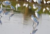 大園野鳥:小白鷺IMG_6050.JPG