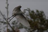 大園野鳥:小白鷺IMG_9429.jpg