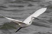 大園野鳥:小白鷺IMG_9531.JPG