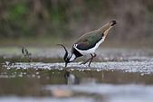 大園野鳥:小辨行鳥IMG_4886.jpg