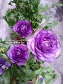 美呆了!!:紫色陸蓮花1146624023.jpg