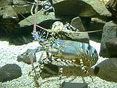 澎湖之旅─海生館:0020喜歡吃龍蝦嗎?自