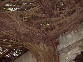 澎湖之旅─通樑古榕樹:0005這是那棵樹的根