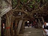 澎湖之旅─通樑古榕樹:0006這也是那棵樹的