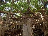 澎湖之旅─通樑古榕樹:0007這也是嗎?