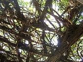 澎湖之旅─通樑古榕樹:0008這也是嗎?