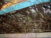 澎湖之旅─通樑古榕樹:0009這也是嗎?