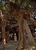 澎湖之旅─通樑古榕樹:0009還綁上紅布