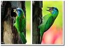 五色鳥:3.JPG