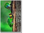 五色鳥:9.JPG
