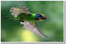 五色鳥:34.JPG