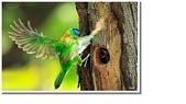 五色鳥:44.JPG