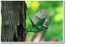 五色鳥:35.JPG