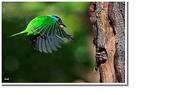 五色鳥:47.JPG
